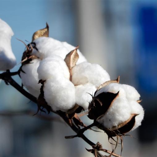 綿 コットン,特徴